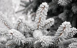 768383__snowy-tree_p